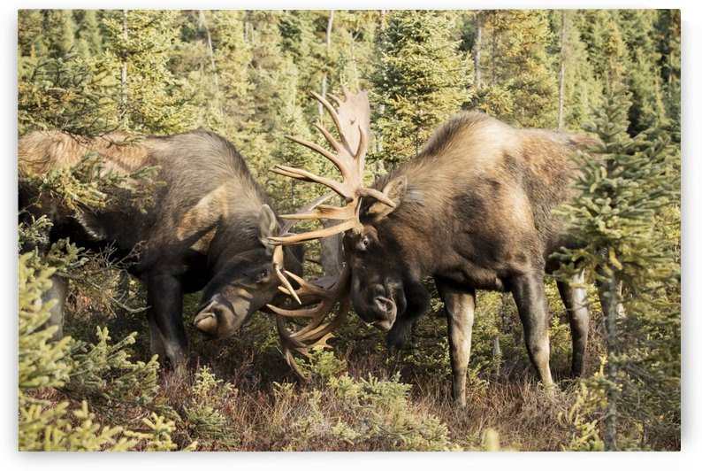 Bull moose (alces alces) fighting with antlers in autumn; Anchorage, Alaska, United States of America by PacificStock