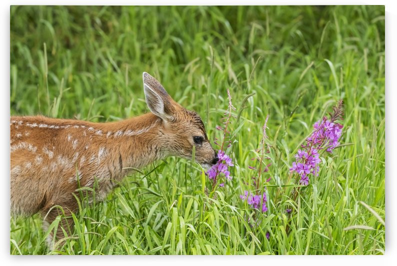 Sitka Black-tailed deer fawn (Odocoileus hemionus sitkensis) munches on fireweed (Chamerion angustifolium) in pasture, captive animal at the Alaska Wildlife Conservation Centre; Portage, Alaska, United States of America by PacificStock