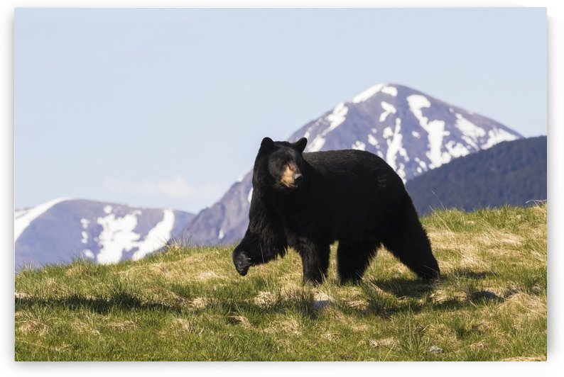 Mature Black bear (Ursus americanus) walking over grass with peaked mountains in the background, captive at the Alaska Wildlife Conservation Centre; Portage, Alaska, United States of America by PacificStock
