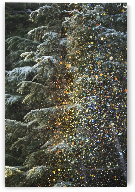 A very unusual situation of ice crystals falling from frosted trees and sparkling in the low afternoon sunlight which then produced small colored crystals of various rainbow colours, Crow Creek Road near Girdwood; Alaska, United States of America by PacificStock