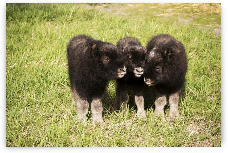 CAPTIVE: Three newborn calf musk ox stand together, Alaska Wildlife Conservation Center, Southcentral Alaska, summer by PacificStock