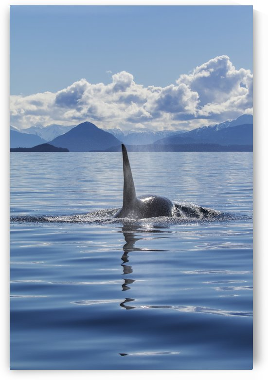 An Orca Whale, or Killer Whale, (Orcinus orca) surfaces near Juneau in Lynn Canal, Inside Passage; Alaska, United States of America by PacificStock