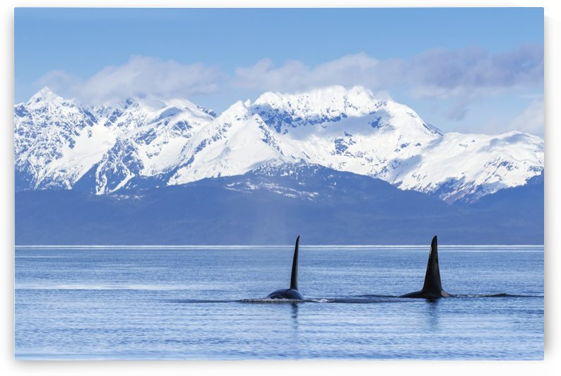 Two male Orca Whales, or Killer Whales, (Orcinus orca) surface near Juneau in Lynn Canal, Inside Passage; Alaska, United States of America by PacificStock