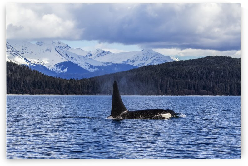 An Orca Whale, or Killer Whale, (Orcinus orca) surface near Juneau in Lynn Canal, Inside Passage; Alaska, United States of America by PacificStock