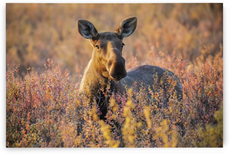 A cow moose (alces alces) stands in nice light in Denali National Park and Preserve, interior Alaska; Alaska, United States of America by PacificStock