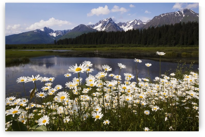 Wild daisies colour the roadside near Mile 1 of Nash Road near Seward in south-central Alaska. This marsh is home to many nesting birds such as Trumpeter swans and ducks; Alaska, United States of America by PacificStock
