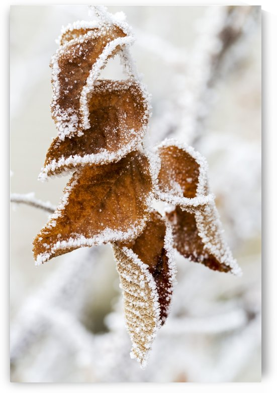 Close up of frosted dried brown leaves; Calgary, Alberta, Canada by PacificStock