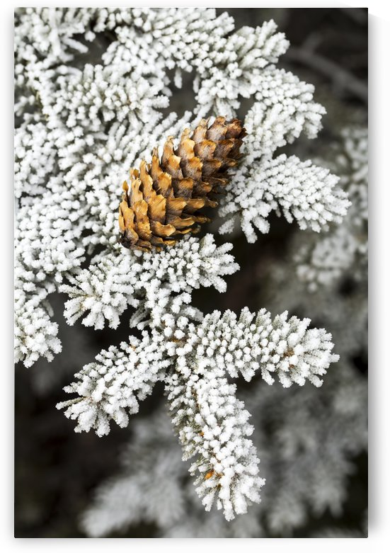 Close up of frosted evergreen tree needles with pine cone; Calgary, Alberta, Canada by PacificStock