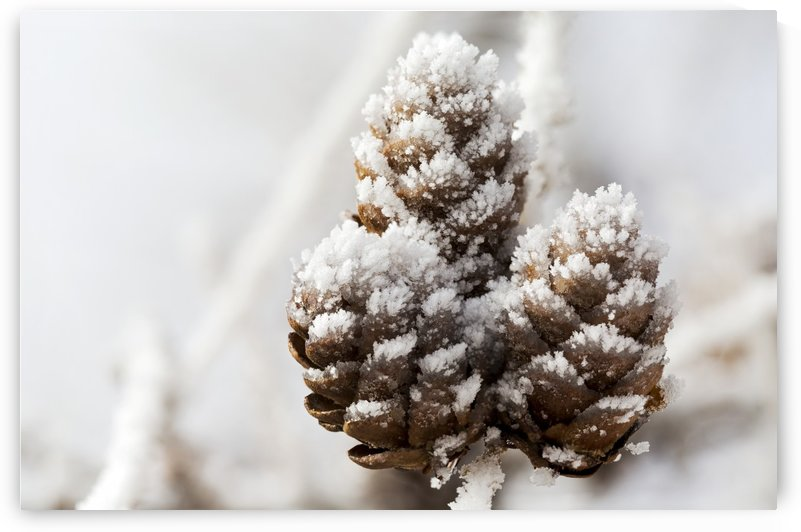 Close up of frosted pine cones; Calgary, Alberta, Canada by PacificStock