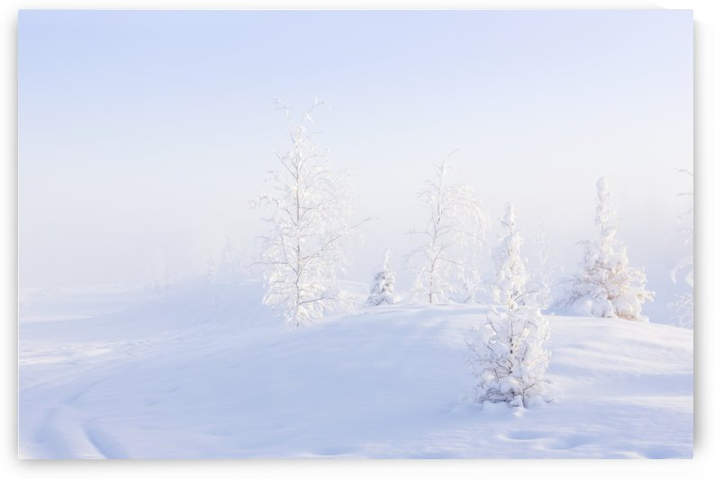 Snowy birch and evergreen trees in atmospheric landscape during sunrise in winter, North Pole, interior Alaska; Alaska, United States of America by PacificStock