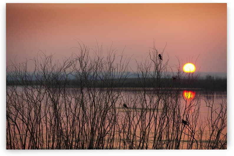 Sun glowing in a pink sky at sunset and reflections on a tranquil lake with silhouettes of small birds in a tree; Saskatchewan, Canada by PacificStock