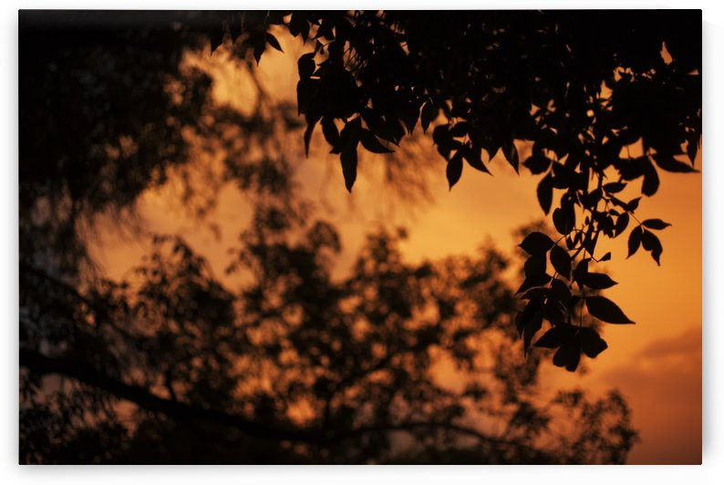 A dramatic orange sky at sunset with a silhouette of leaves on a tree; Saskatchewan, Canada by PacificStock