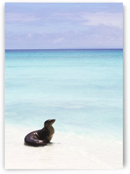 Sea lion on white sand beach with crystal clear turquoise water by PacificStock