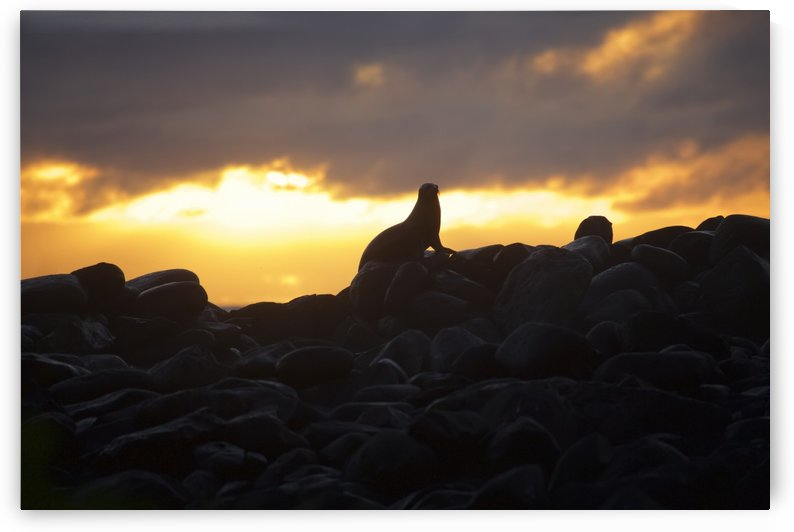 Sea lion on rocky promontory silhouetted against a golden sunset by PacificStock