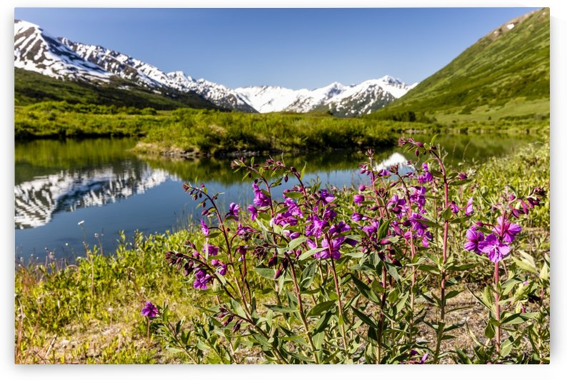 Dwarf Fireweed (Epilobium latifolium) growing along a pond with the Kenai Mountains in the background in Turnagain Pass, South-central Alaska; Alaska, United States of America by PacificStock