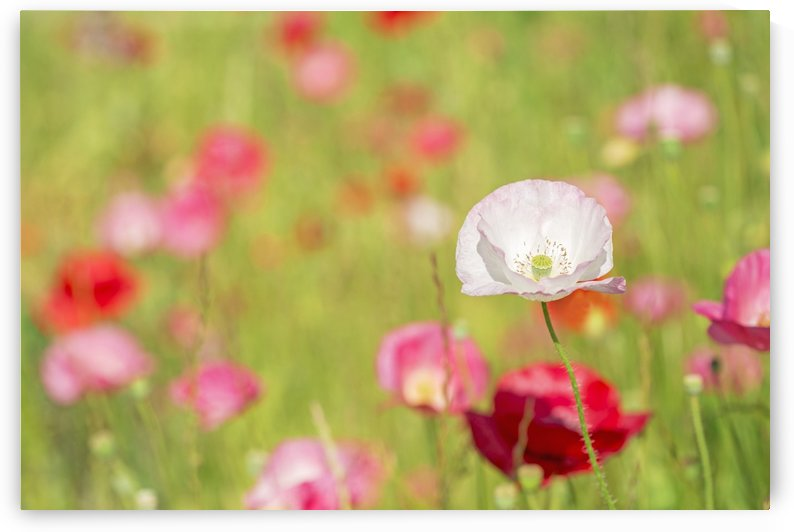 Poppies in a meadow; Burnaby, British Columbia, Canada by PacificStock