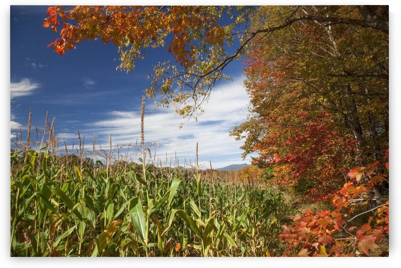 Corn growing in a field and autumn coloured leaves; Stowe, Vermont, United States of America by PacificStock
