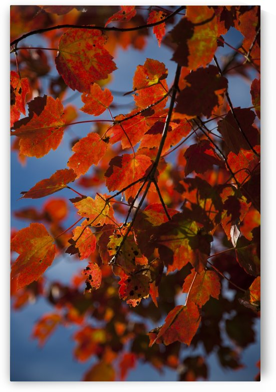 Close up of bright red leaves with blue sky in autumn; Stowe, Vermont, United States of America by PacificStock