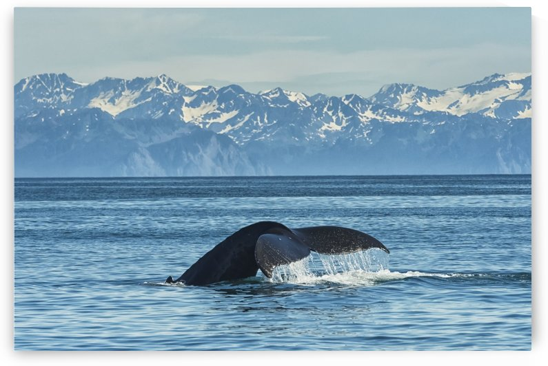 Humpback whale (Megaptera novaeangliae) in Seward harbour; Seward, Alaska, United States of America by PacificStock