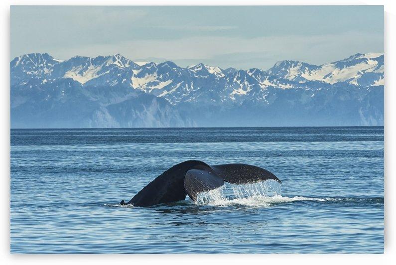 Humpback whale (Megaptera novaeangliae) in Seward harbour; Seward, Alaska, United States of America by PacificStock