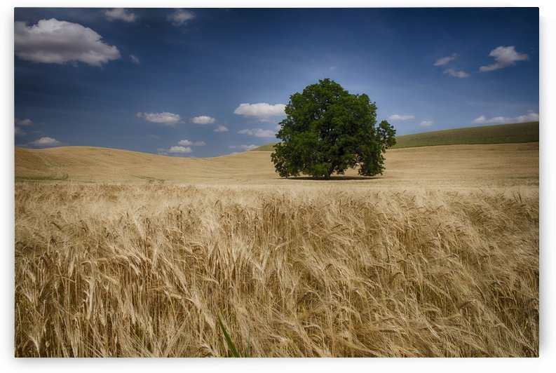 Lone tree in a wheat field; Palouse, Washington, United States of America by PacificStock