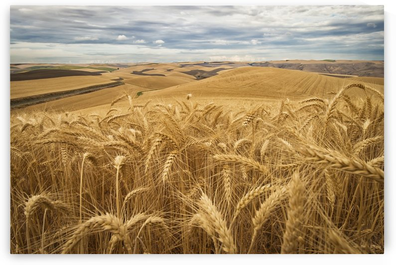 Golden wheat fields on rolling hills; Palouse, Washington, United States of America by PacificStock