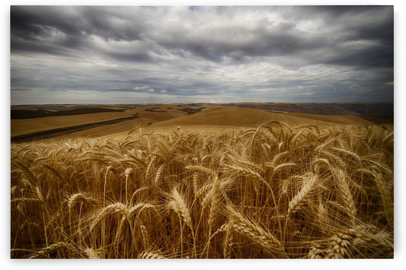 Golden wheat fields under a cloudy sky; Palouse, Washington, United States of America by PacificStock