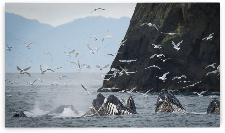 Humpback whales (Megaptera novaeangliae) bubble feeding in the Seward harbour; Seward, Alaska, United States of America by PacificStock