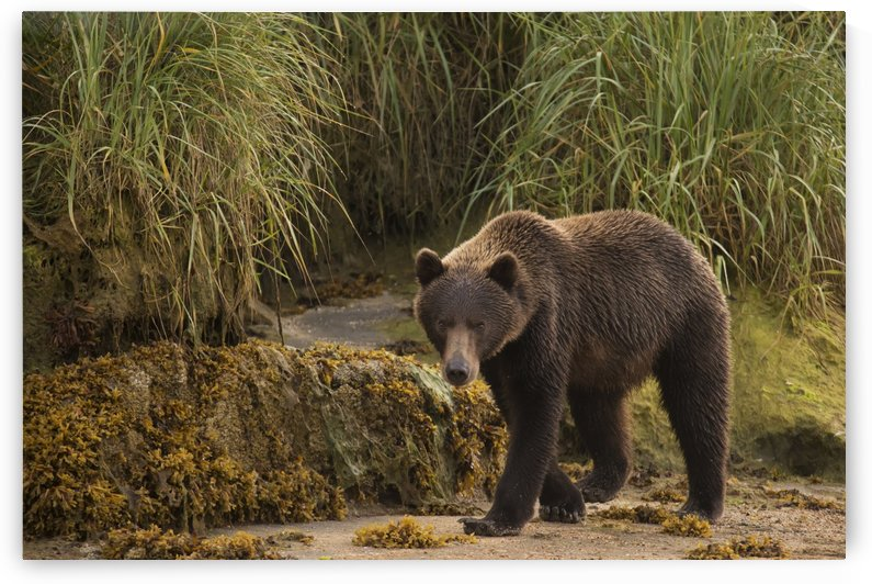 Brown bear (Ursus arctos) walking on sand beside tall grass; Alaska, United States of America by PacificStock