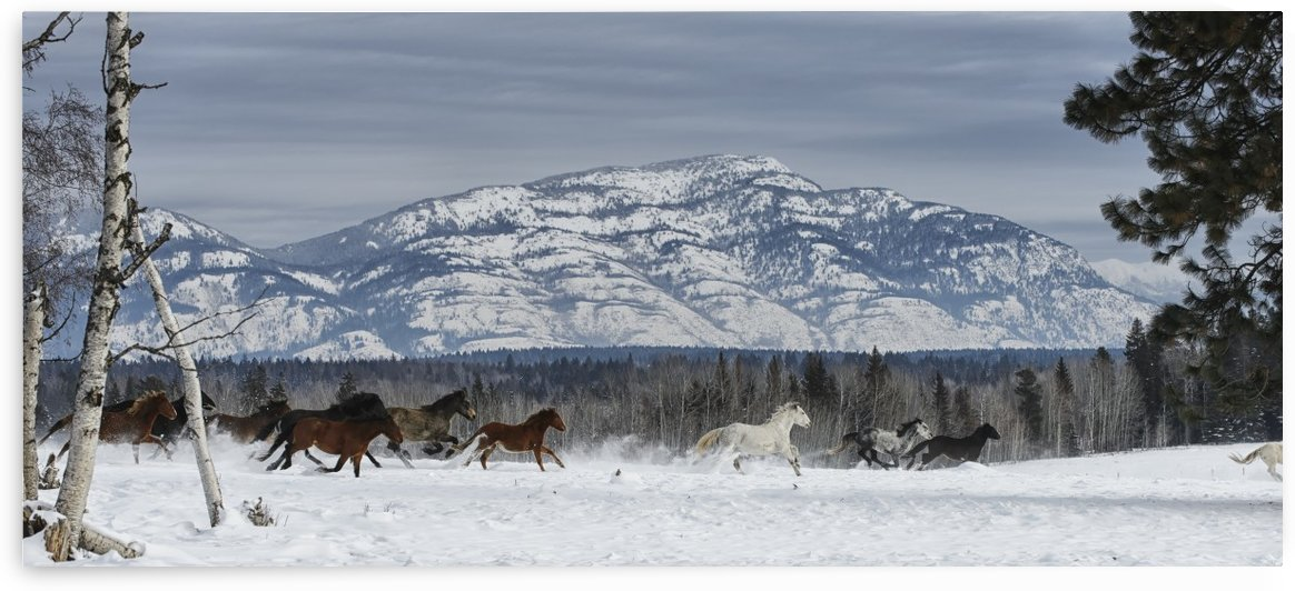 Horses running in the snow on a ranch in winter; Montana, United States of America by PacificStock