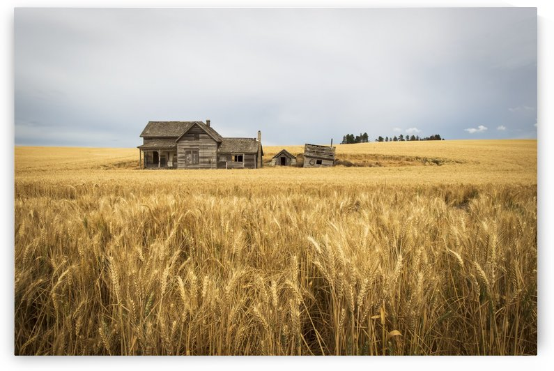 An old wooden farmstead in a wheat field; Palouse, Washington, United States of America by PacificStock