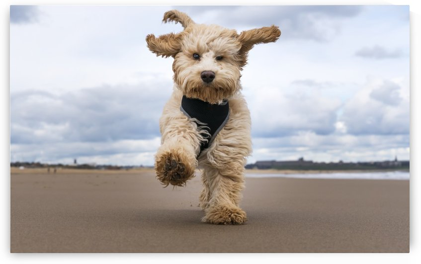A cockapoo running towards the camera on a beach; South Shields, Tyne and Wear, England by PacificStock
