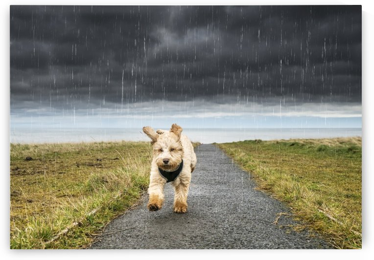 A cockapoo running up a path with ominous storm clouds and rainfall in the background; South Shields, Tyne and Wear, England by PacificStock