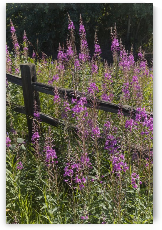 Fireweed (Chamerion angustifolium) and split rail fence, South-central Alaska in summertime; Alaska, United States of America by PacificStock