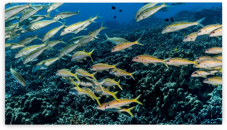 Yellowfin Goatfish (Mulloidichthys vanicolensis) schooled off the Kona coast; Kona, Island of Hawaii, Hawaii, United States of America by PacificStock