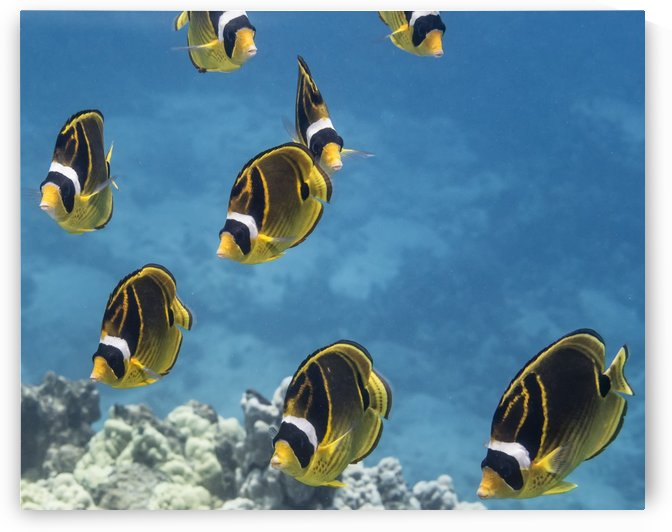 Racoon Butterflyfish (Chaetodon lunula) schooling off the Kona coast, Turtle Haven, Island of Hawaii, Hawaii, United States of America  by PacificStock