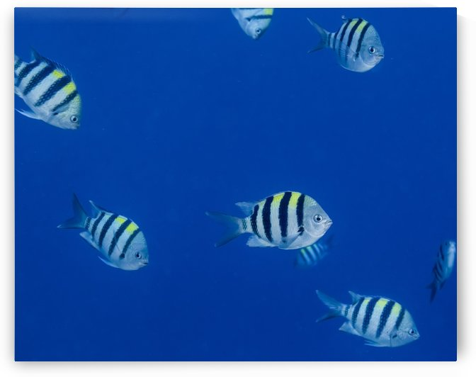 Schooling Hawaiian Sargeant (Abudefduf abdominalis) off the Kona coast; Island of Hawaii, Hawaii, United States of America by PacificStock