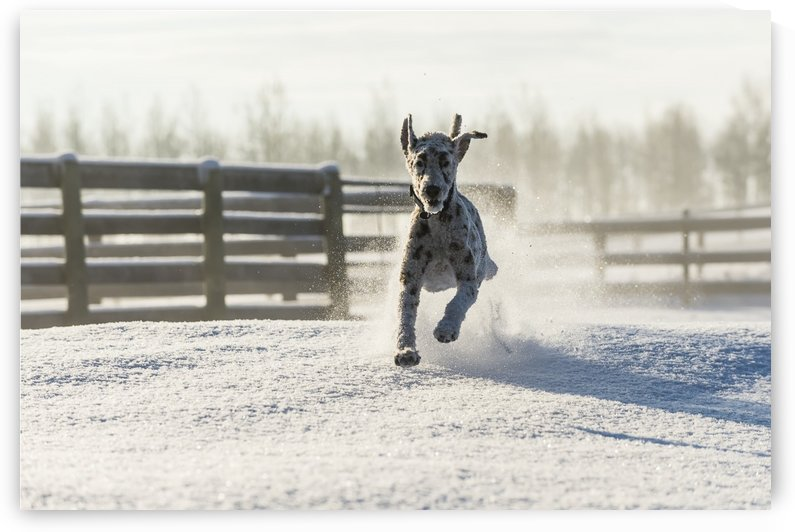 Dog running in the snow; Cremona, Alberta, Canada by PacificStock