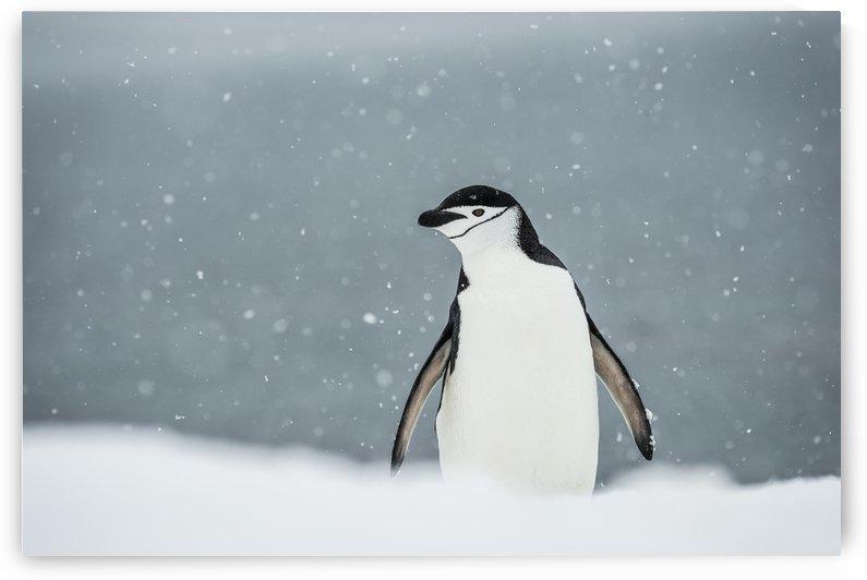 Chinstrap Penguin (Pygoscelis antarctica) in a snowfall; Half Moon Island, South Shetland Islands, Antarctica by PacificStock