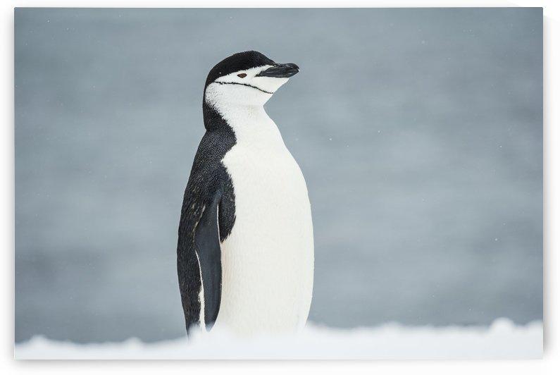 Chinstrap Penguin (Pygoscelis antarctica); Half Moon Island, South Shetland Islands, Antarctica by PacificStock