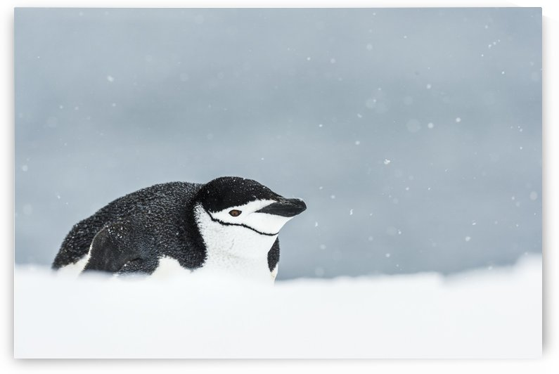 Chinstrap Penguin (Pygoscelis antarctica) on belly; Half Moon Island, South Shetland Islands, Antarctica by PacificStock
