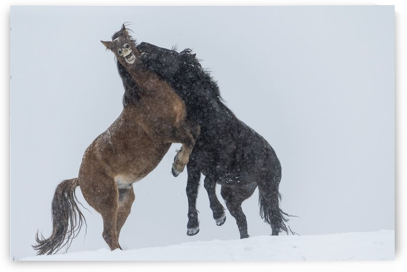 Wild horses (Equus ferus caballus) fighting; Turner Valley, Alberta, Canada by PacificStock