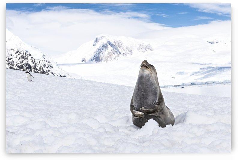Elephant seal (Mirounga leonina) laughing, Neko Harbour; Antarctica by PacificStock