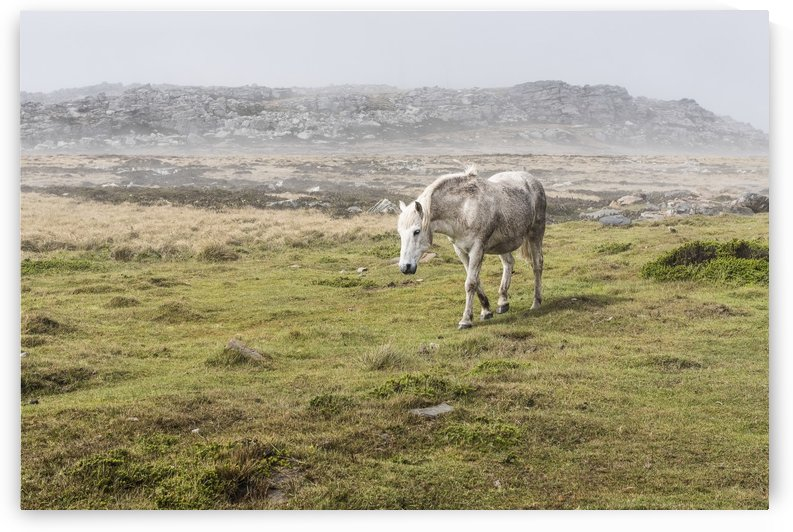 A wild, white horse walking in a foggy field by PacificStock