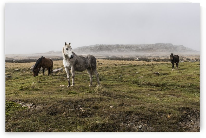 Wild horses standing in a foggy field by PacificStock