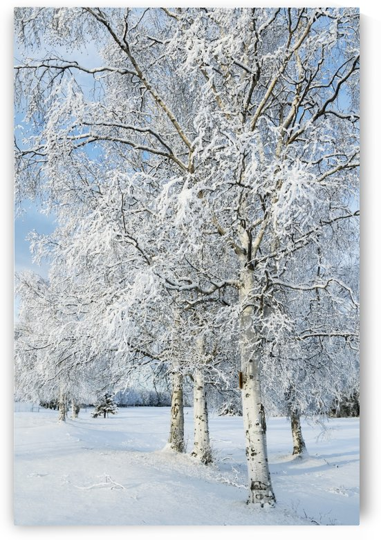 Snow covered trees in a field in winter; Alaska, United States of America by PacificStock