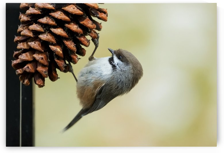 A small bird clings to a pine cone; Alaska, United States of America by PacificStock