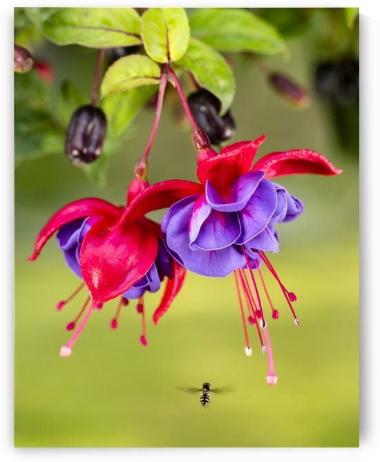 Close up of fuchsia and insect in garden; South-central Alaska; Eagle River, Alaska, United States of America by PacificStock