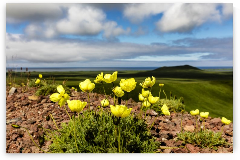 Arctic poppy (Papaver radicatum) grows from the volcanic soil of St. Paul Island in the Pribilofs in Southwest Alaska; St. Paul Island, Pribilof Islands, Alaska, United States of America by PacificStock