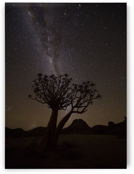 The milky way slashes across the night sky above a quiver tree (kokerboom, aloe dichotoma) in Richtersveld National Park; South Africa by PacificStock